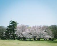 Parkerar oavkortad blom japanSakura för körsbärsröda blomningar in, Tokyo royaltyfria foton