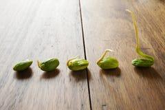 Parkia seed Stock Image
