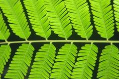 Parkia Speciosa-Blätter Lizenzfreie Stockfotos