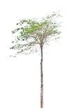 Parkia speciosa tree (Fabaceae). Royalty Free Stock Photos