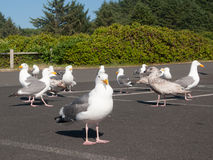 Parking lot seagulls Royalty Free Stock Photos