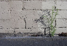 Parking Lot Weed. A weed, growing out of the crack between a brick wall and an asphalt parking lot in Seattle's Queen Anne district Stock Photos