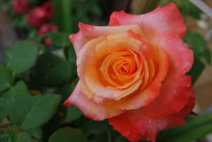 Parkinson's Beauty Rose. The bush produces candelabras with many sturdy individual stems,ncarrying a large bloomnnThe colour is a blend of golden yellow Stock Photos
