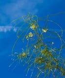 Parkinsonia aculeata Lizenzfreies Stockfoto