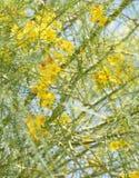 Parkinsonia aculeata Blüte Lizenzfreie Stockfotografie