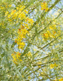 Parkinsonia aculeata blossom. Nice and cute yellow flowers of Parkinsonia aculeata plant Royalty Free Stock Photography