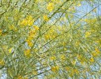 Parkinsonia aculeata blossom. Nice and cute yellow flowers of Parkinsonia aculeata plant Stock Photos