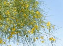 Parkinsonia aculeata blossom. Nice and cute yellow flowers of Parkinsonia aculeata plant Royalty Free Stock Photos