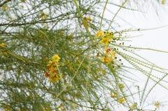 Parkinsonia aculeata blosssom. Beautiful reddish-yellow flowers of Parkinsonia aculeata tree Royalty Free Stock Image