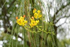 Parkinsonia aculeata Blumen Lizenzfreies Stockfoto