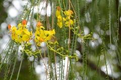 Parkinsonia aculeata Blumen Lizenzfreie Stockfotografie