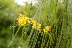 Parkinsonia aculeata Blumen Lizenzfreie Stockbilder