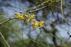 Parkinsonia aculeata, Palo verde Stock Photography