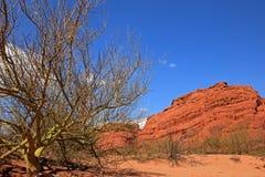 Parkinsonia, palo verde, Quebrada De Cafayate dolina, Argentyna Zdjęcie Stock