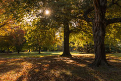 Parkland in autumn. Oak trees in parkland in autumn Stock Photos