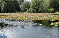 Parkland Lake full of Water Lilies and Ducks Royalty Free Stock Image