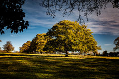 Parkland trees. Large, mature oaks in a formal parkland setting Royalty Free Stock Photo