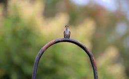 Parkolibriflyg Royaltyfri Bild
