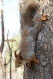 parkowa wiewiórka zdjęcia royalty free