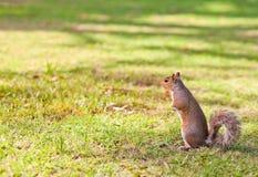 parkowa wiewiórka Fotografia Royalty Free