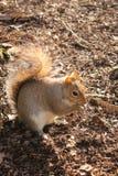 parkowa wiewiórka Obraz Stock