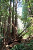 Parkowi drzewa tajemnica Obraz Stock