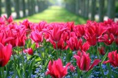 parkowi tulipany Zdjęcia Stock