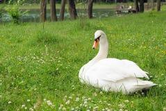 parkowy łabędzi biel Zdjęcia Royalty Free