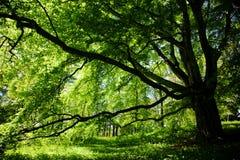 parkowy drzewo Fotografia Stock