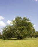 parkowy drzewo Zdjęcia Royalty Free