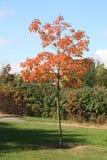 parkowy drzewo Zdjęcie Royalty Free