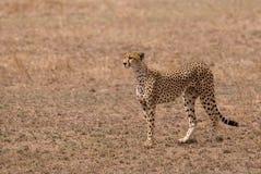parkowy geparda serengeti Tanzania Obraz Stock