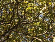 Parks of London, branches full of green and yellow leaves . This image shows some branches full of green and yellow leaves. It was taken on a sunny day in royalty free stock photography