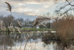 Parks of London, England - reeds and trees. This image shows a view of some reeds in one of the parks in London, Clapham Common. It was taken on a cloudy day at Stock Image