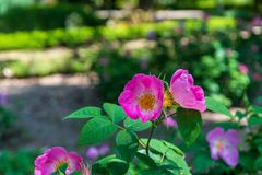 Pink amd yellow  flower in garden Stock Photography