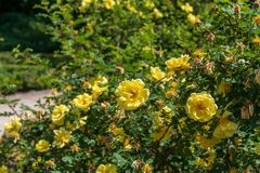 Yelllow flower in the garden of Madrid Stock Image