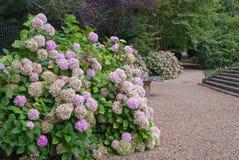 Parksteeg met hydrangea hortensia's Royalty-vrije Stock Afbeeldingen