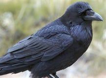 parku narodowego canyonlands raven Obrazy Royalty Free