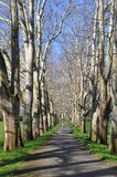 Parkway of plane tree Stock Photo