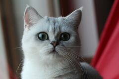 Parla the Cat. British Shorthair Silver Shaded Female in front of a red tent stock photo