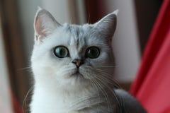 Parla o gato Foto de Stock