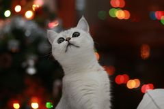 Parla o gato Imagens de Stock Royalty Free