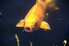 Parlare del pesce rosso Immagine Stock