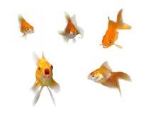 parler de goldfishes Photos stock