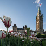 Parliament Hill of Ottawa, Canada. In a sunny spring afternoon with red-and-white tulips in the foreground Stock Photo