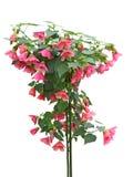 Parlour Maple Flower Plant Stock Images