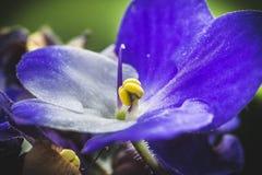 Parma Fiołkowy kwiat Obraz Stock