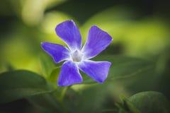 Parma Fiołkowy kwiat Fotografia Royalty Free