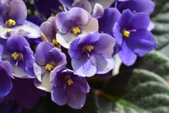 Parma violets. My parma violets from my house stock images