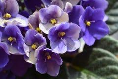 Parma violets Stock Images